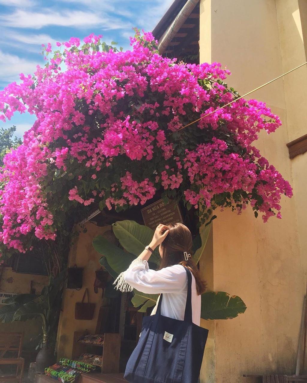 Ngắm Hội An mùa hoa giấy qua loạt ảnh check-in của giới trẻ