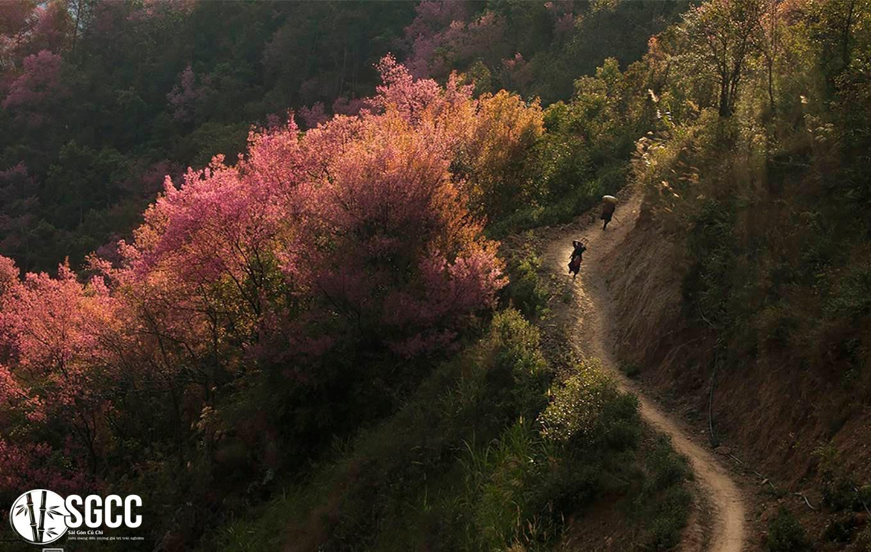 Ngỡ ngàng với sắc hoa nhuộm hồng vùng núi Tây Bắc