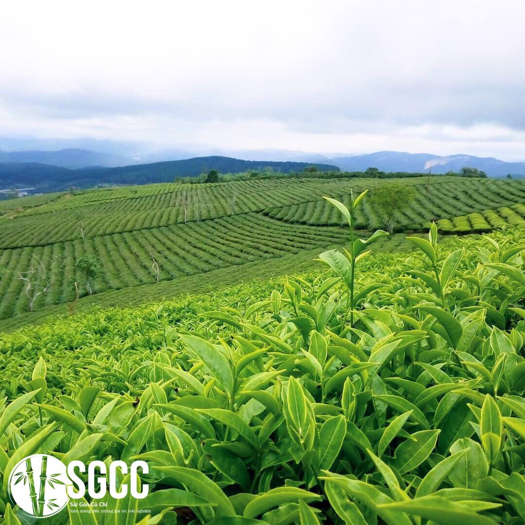 Đặc sản trà danh tiếng trên cao nguyên Đà Lạt