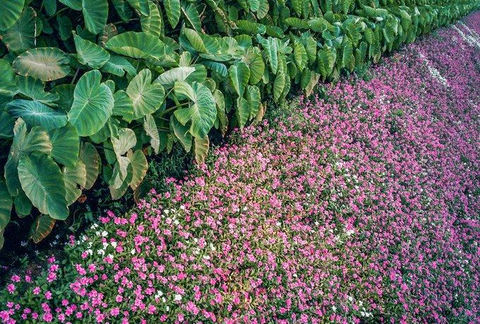 Cánh đồng hoa dừa cạn
