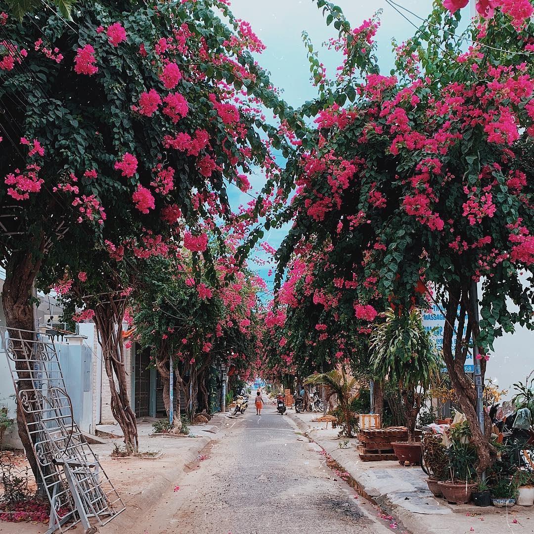 Cung đường hoa giấy đẹp ngỡ ngàng ở Nha Trang