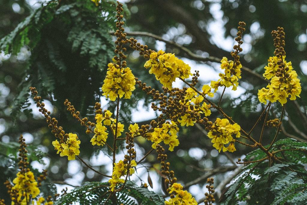 Hoàng điệp vàng rực tháng 4, gọi hè về trên xứ Huế