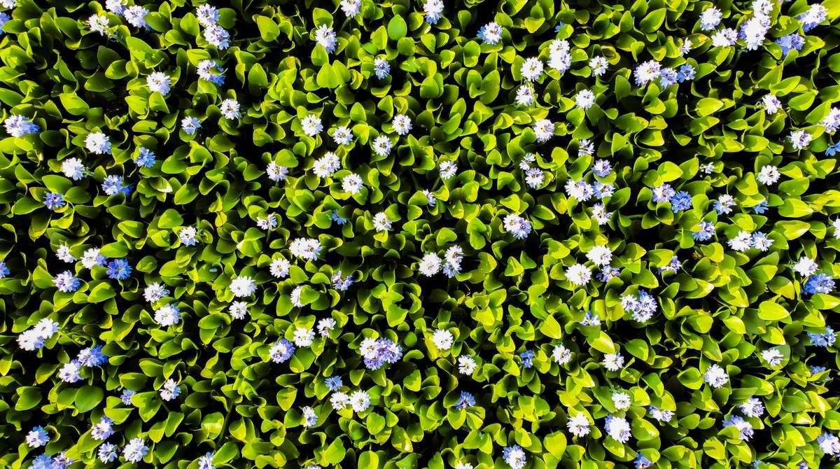 Mùa hoa lục bình
