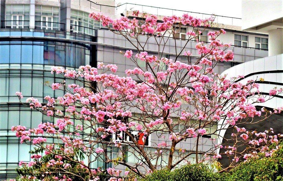 Phải lòng 3 mùa hoa Sài Gòn vừa đẹp vừa lãng mạn