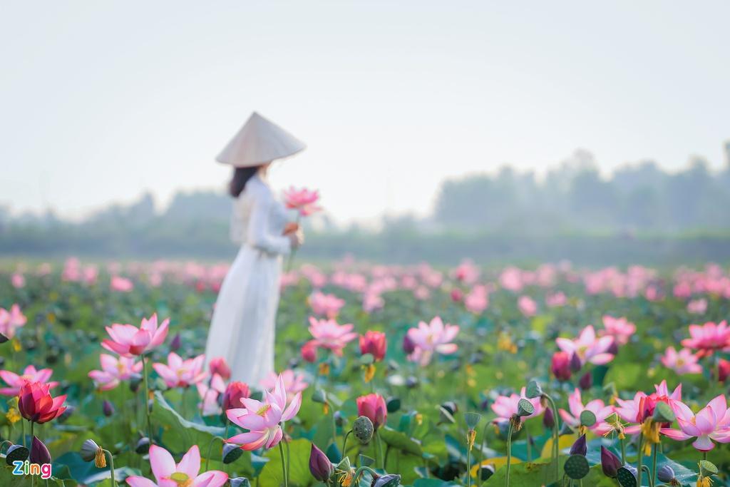 Mùa sen trên đất Quảng
