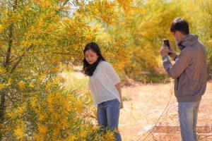 Rừng keo lá tràm vàng rực ven biển Bình Thuận