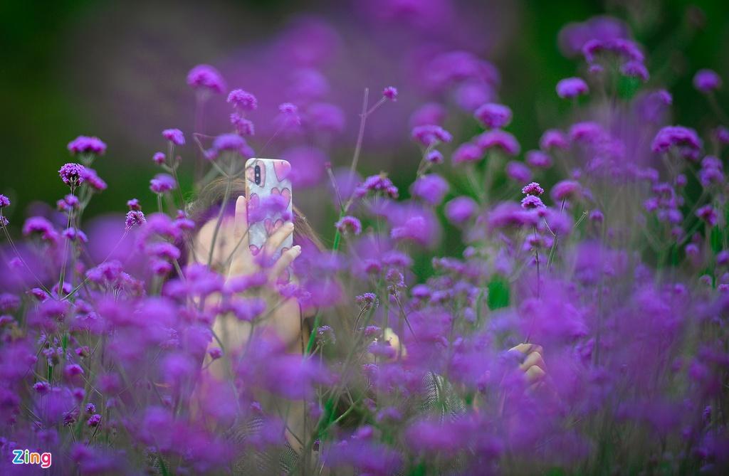 Du khách check-in vườn hoa tím ở Sa Pa