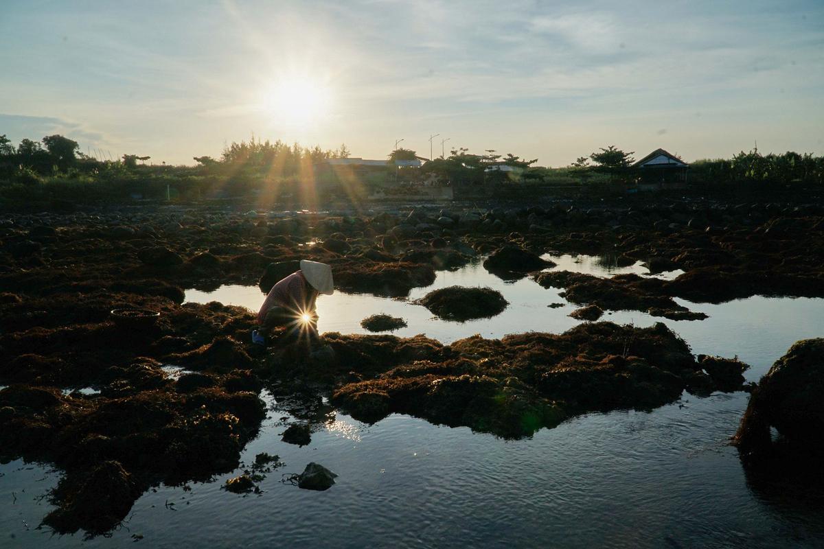 Bãi san hô lộ thiên tuyệt đẹp xuất hiện ở Quảng Ngãi