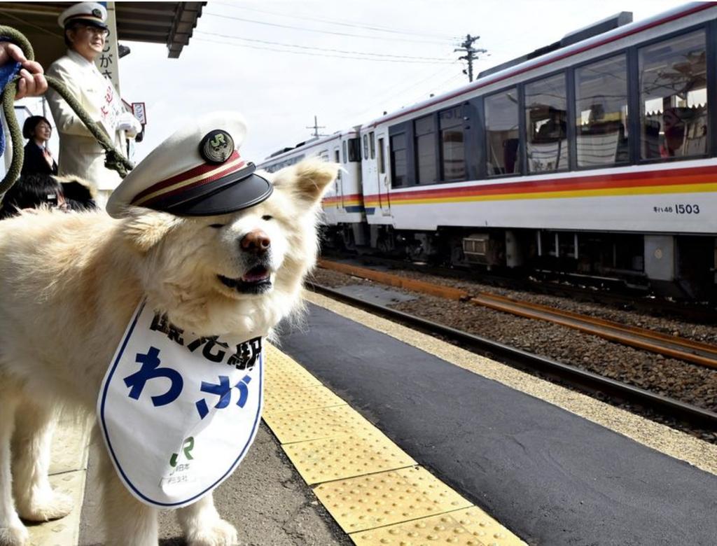 Cuộc đời chú chó đại sứ du lịch Nhật Bản vừa ra đi ở tuổi 13