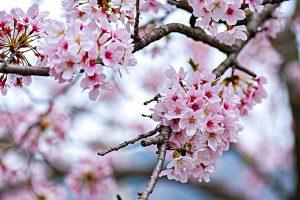 17 sự thật thú vị về hoa anh đào có thể bạn chưa biết